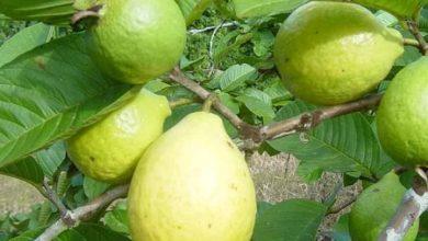فوائد ورق الجوافة للصحة