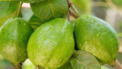 فوائد الجوافة لتغذية الجسم