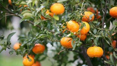فوائد البرتقال المر