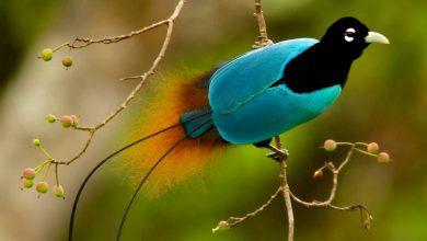 معلومات عن طائر الجنة الفاتن