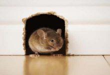 طرق التخلص من الفئران بسهولة