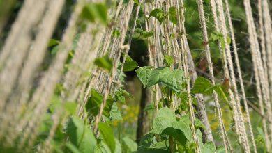 أمراض المجموع الخضري في العفن الأبيض في الفاصوليا