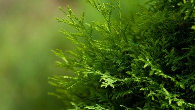 الأهمية الاقتصادية لشجرة الثويا