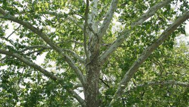 الأهمية الاقتصادية لشجرة الجميز