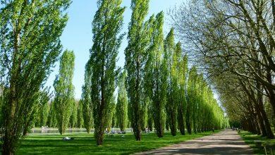الأهمية الاقتصادية لشجرة الحور