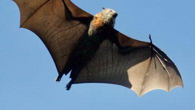 الامراض التي ينقلها الخفاش