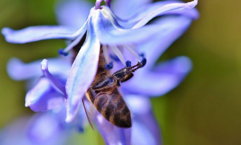 تأثير المبيدات الحشرية على نحل العسل في الحقول الزراعية