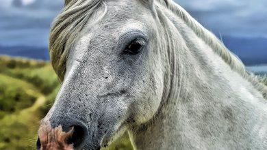 تقرح القرنية في الخيول