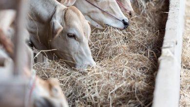 صنع خلطات علفية لتغذية الحيوانات