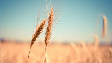 فوائد القمح للبشرة