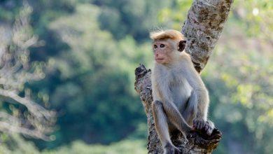 قصة القرد العنيد