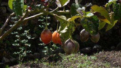 كيفية نمو فاكهة الطماطم الشجرية