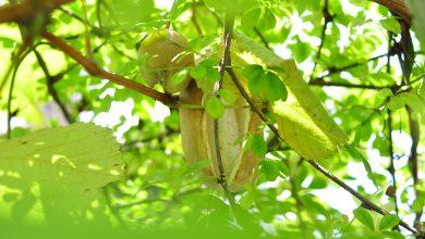 ما هي فاكهة الأكيبيا؟