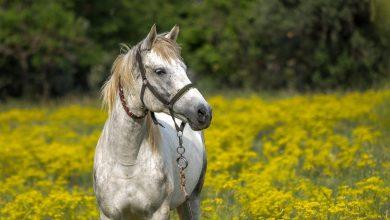 مرض الدورين في الخيول – Dourine