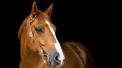 مرض السمية السنوية لعشبة الراي جراس في الخيول