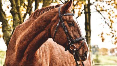 مرض اللويحات السمعية في الخيول