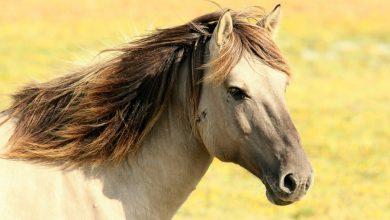 مرض انسداد المريء الخانق في الخيول