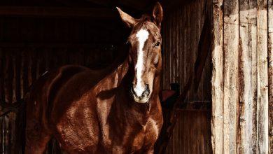 مرض بورنا في الخيول