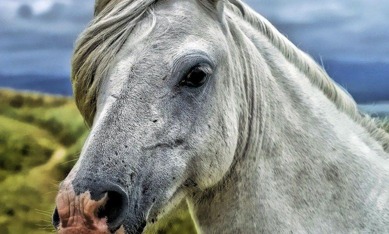 مرض كوشينغ في الخيول
