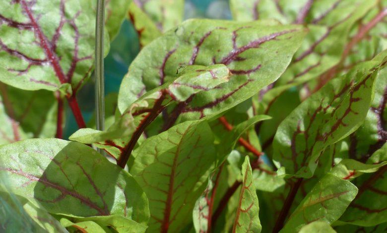 نبات الحميض