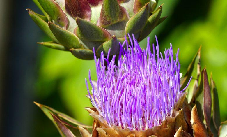 نبات الخرشوف