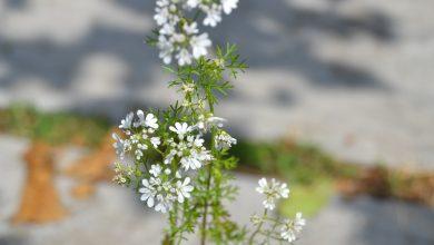 نبات الكزبرة