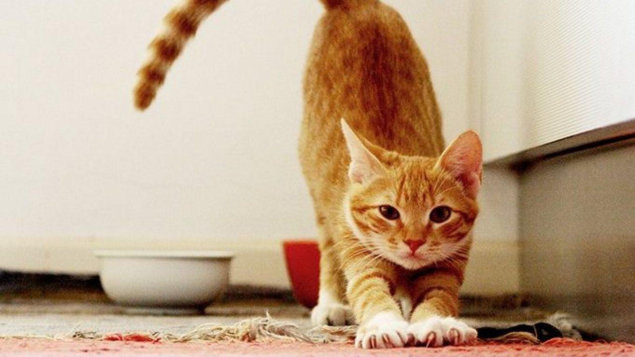 علامات البلوغ عند القطط