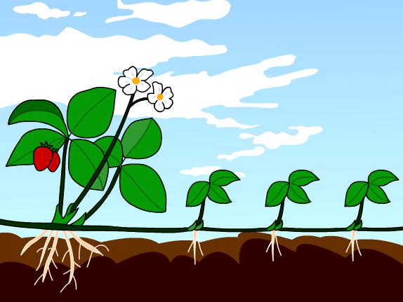 التكاثر الجنسي واللاجنسي عند النبات