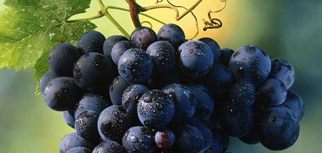 العنب الأسود