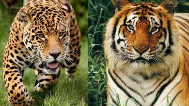 الفرق بين الفهد والنمر