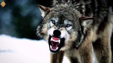 تفسير رؤية الذئب يهاجم في المنام