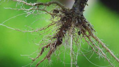 كيف تساعد الشعيرات الجذرية النبات على امتصاص الماء