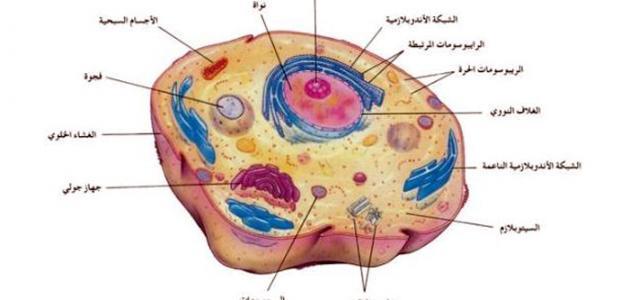معظم المعلومات الوراثية للخلية الحيوانية موجودة في