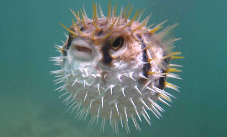 هل تحبس السمكة البالون أنفاسها أثناء تضخيم نفسها